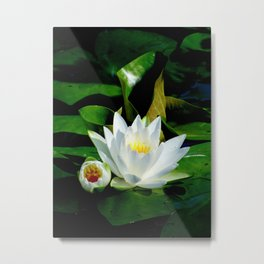 White Water Lily and Bud in Pond Metal Print