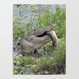 Alligator eating a large fish in Florida lake Poster