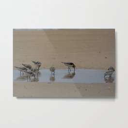 Sandpipers on Patrol (Semipalmated Sandpipers) Metal Print