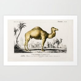 Vintage Print - Universal Dictionary of Natural History (1849) - Camel Art Print