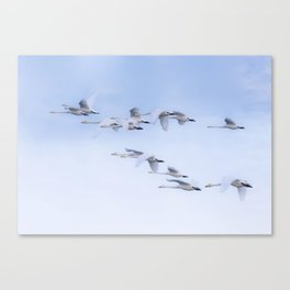 Early Morning Whoopers Canvas Print