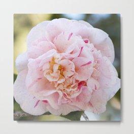 Strawberry Blonde Camellia Up Close Metal Print