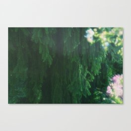 Weeping Evergreen Tree Canvas Print