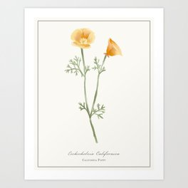 California Poppy Watercolour Botanical Art Print
