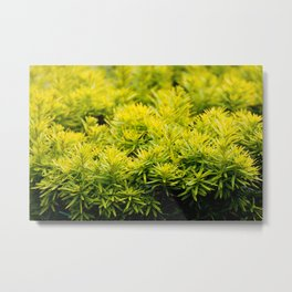 Taxus baccata Yew new shoots Metal Print