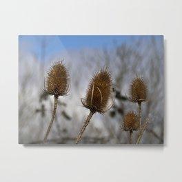 Winter Teasels Metal Print