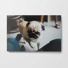 Needy Pug Metal Print