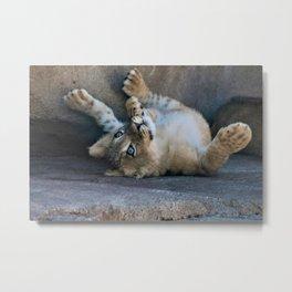 Curtys photos baby lion Metal Print