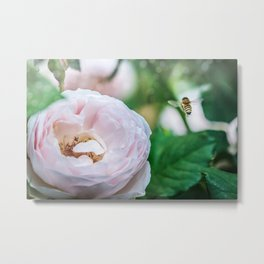 Busy bee in a rose garden Metal Print