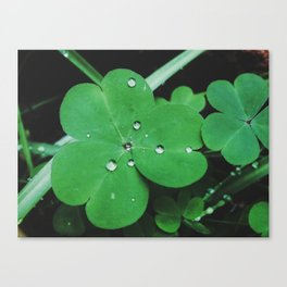 wet clover Canvas Print