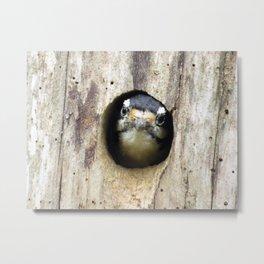 A tired mom - Downy Woodpecker Metal Print