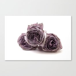Purple wilted roses Canvas Print