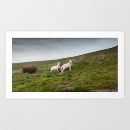 Welsh lambs in Brecon Art Print