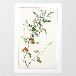 Jan Jansz. van de Vinne,  STUDY OF THE BRANCH OF A COFFEE PLANT Art Print