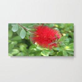 Beautiful Bottle Brush Flower With Garden Background Metal Print