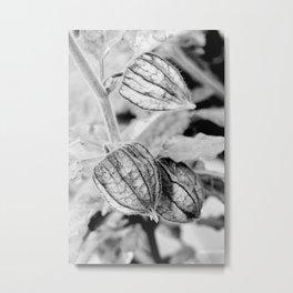 Physalis angulata Metal Print