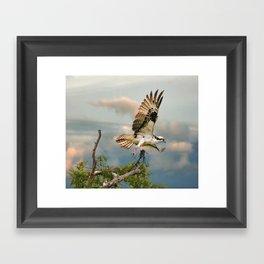 Osprey with nesting material Framed Art Print