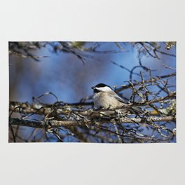 Black-capped Chickadee Holding a Seed Rug