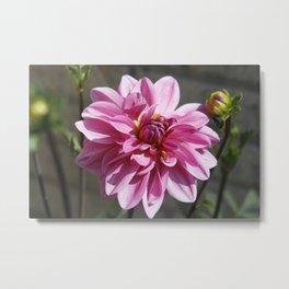 Pink Dahlia | Flowers | Floral | Botanical | Photography Metal Print