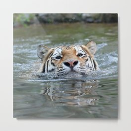 SwimmingTiger_by_JAMFoto Metal Print