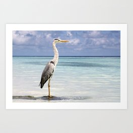 Hungry Heron, Vilamendhoo, Maldives Art Print