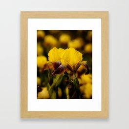 Yellow and Maroon Irisis Framed Art Print