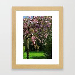 Young Cherry Tree Sakura Blossoming In Spring Framed Art Print