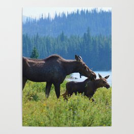 Mother moose & calf at Maligne Lake in Jasper National Park Poster