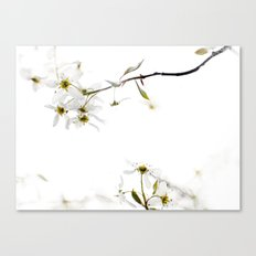 blossoming white Canvas Print