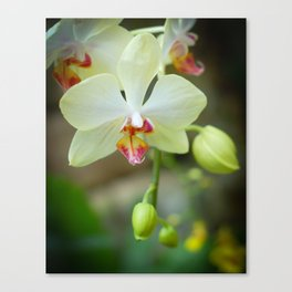 White Orchid Soft Glow Canvas Print