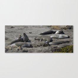 Bull Seals in California Canvas Print