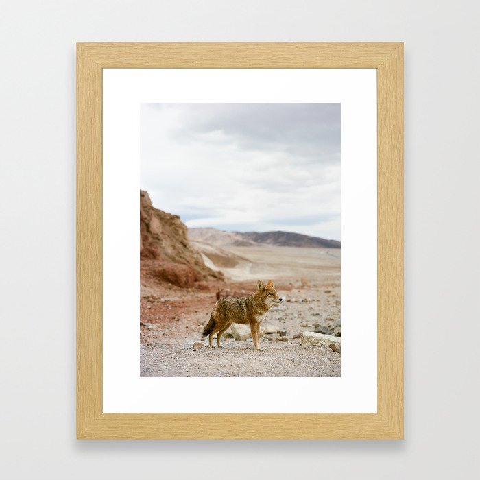Coyote in Death Valley California Framed Art Print