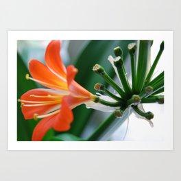 Close-up of Clivia Miniata Art Print