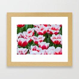 Red white tulips on the flowerbed in Keukenhof. Shallow depth of field. Framed Art Print