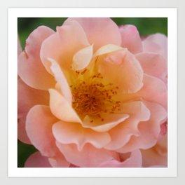 Powder Pink Colored Rose Art Print