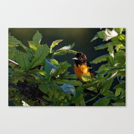 Baltimore Oriole in the Leaves Canvas Print