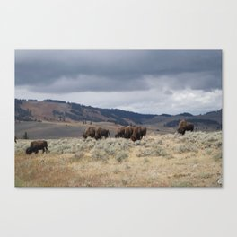 Bison in Yellowstone National Park Canvas Print