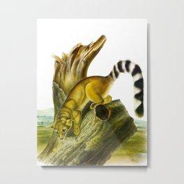 Ring-tailed Cat Vintage Drawing Metal Print