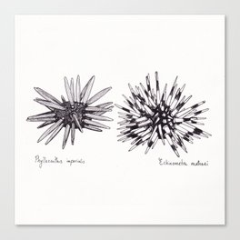 Tropical Sea Urchin Pen & Ink Canvas Print