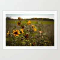 Sunflowers on a Cold Day Art Print