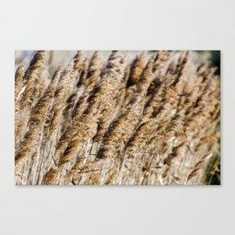 Brown Reeds Canvas Print