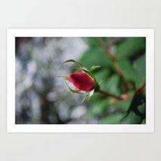 rose bud Art Print