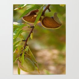 Almond Harvest - Ripe Almonds On A Tree Branch Poster