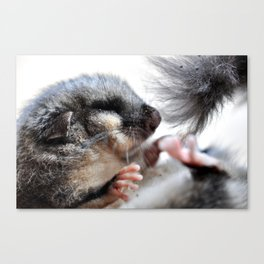 Ghiro - Dormouse Canvas Print