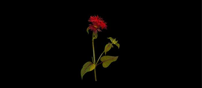 Monarda Fistulosa Mary Delany Delicate Paper Flower Collage Black Background Floral Botanical Coffee Mug