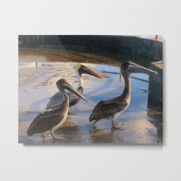 Three Begging Pelicans Metal Print