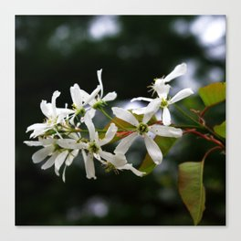 Spring!  Serviceberry blossoms Canvas Print