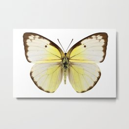 "Butterfly species Catopsilia pomona ""Lemon Emigrant"" Metal Print"