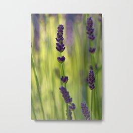 lavender 1 Metal Print