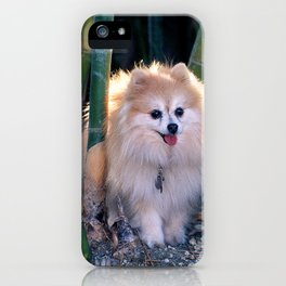 Buffy, the Celebrity Pomeranian, in Bamboo Forest iPhone Case